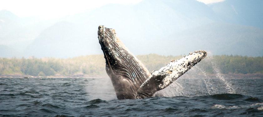 Avistamiento de ballenas en Canadá